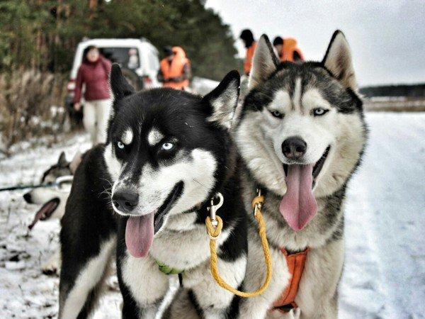 Катание на упряжках ездовых собак хаски